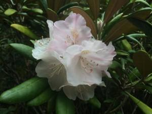 Sumner Garden of Rhododendrons